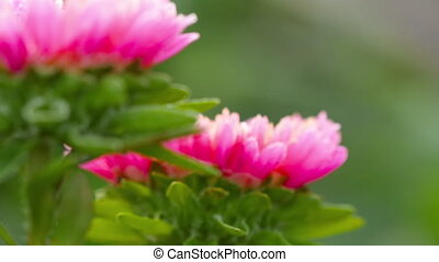 Pink Aster flower with frost