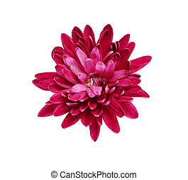 Pink aster isolated on a white background