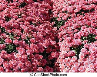 Pink Autumn Mums