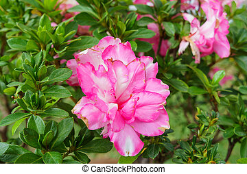 Pink azalea blooming, Rhododendron, bonsai flowers, lush flower.