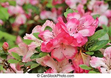 Pink azalea flowers blooming in Spring time