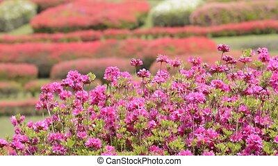 Pink azalea flowers - Bright pink azalea flowers in front of...