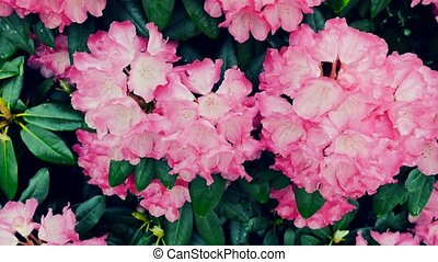 Pink azalea flowers. Rhododendron. The camera moves back on...