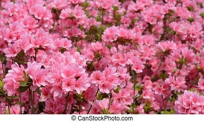 Pink azalea flowers - A sheet of bright pink azalea flowers...