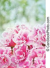 Pink blooming azaleas bush background