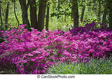 Vibrant pink azaleas in the woods are part of the landscape at The Bayard Cutting Arboretum on Long Island.