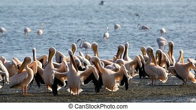 Pink-backed pelican colony in Walvis bay, Namibia -...