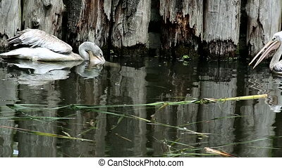 Pink-backed pelican (lat. Pelecanus rufescens). Bird of the...