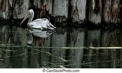Pink-backed pelican (lat. Pelecanus rufescens). Bird of the...