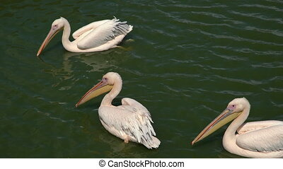 Pink backet pelicans - Pelecanus rufescens swimming in the water, one of them poops in the water. Three beautiful pink wild pelicans on the water surface