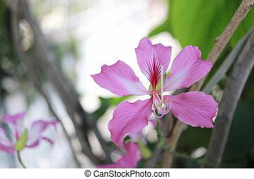 Pink Bauhinia purpurea flower.
