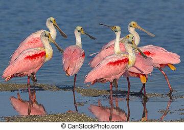 Pink Bazaar - Roseatte Spoonbills, Ajaia ajaja, meeting.