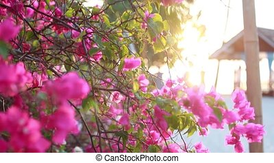 Pink beach flower of bougainvillaea with sunset flare...