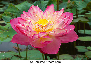 Pink Beautiful lotus flower. Buddhist religious symbol.