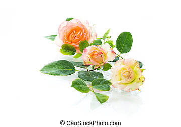 pink beautiful summer roses on white background