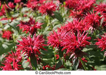 Pink bee balm (Monarda) flowers in a garden.