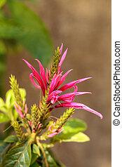 Pink bee balm spikey flower Monarda didyma