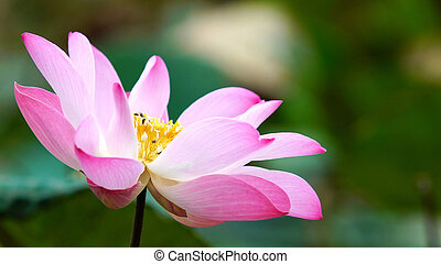 Pink bloom lotus flower in water pond garden decoration (Lotus used to worship)