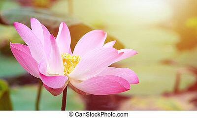 Pink bloom lotus flower in water pond garden decoration (Lotus used to worship)