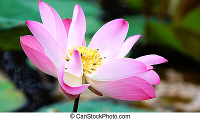 Pink bloom lotus flower in water pond garden decoration (Lotus used to worship)Beautiful pink bloom lotus flower in water pond garden decoration (Lotus used to worship)