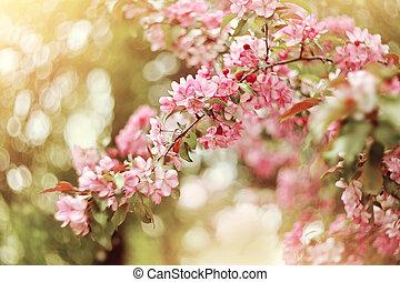 Pink blooming Apple tree in spring.