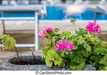 pink blooming geraniums in a pot on the edge of the pool - Mediterranean plants in the garden