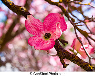 Pink blooms adorn a Dogwood tree in spring