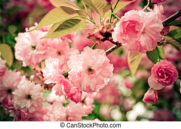 Pink Blooms - flowering cherry tree in spring