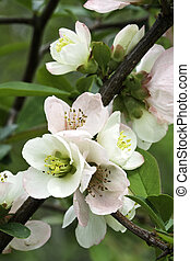 Pink blooms of flowering quince (Chaenomeles speciosa) ...
