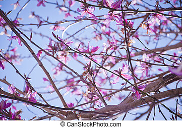 Pink Blossom - A vibrant image showing a trees blossom in ...