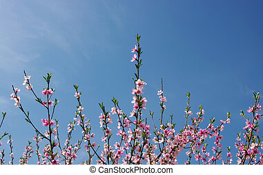 pink blossom against the blue sky