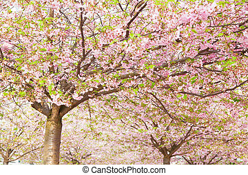 pink blossom in spring