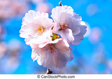 Pink blossom of cherry over blue sky