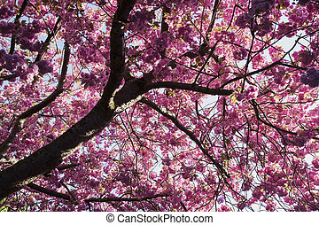 Pink Blossom Tree - Low angle shot of a pink blossom tree.