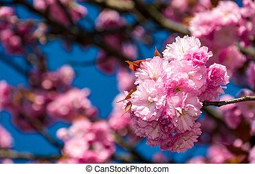 pink blossomed sakura flowers - beautiful spring background...