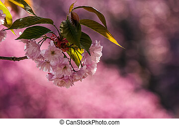 pink blossomed sakura flowers - branch of delicate pink...