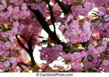 pink blossomed sakura flowers - delicate pink flowers...