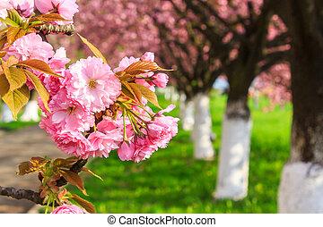 pink blossomed sakura flowers - delicate pink flowers...