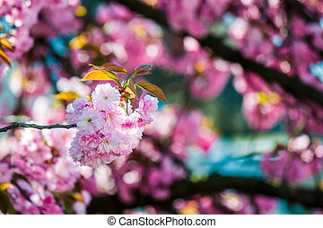 pink blossomed sakura flowers - delicate pink flowers of...
