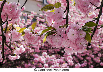 pink blossomed sakura flowers in blur - delicate pink...