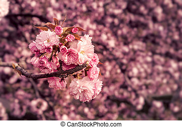 pink blossomed sakura flowers - marsala toned delicate pink...