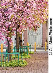 pink blossomed sakura flowers street - delicate pink flowers...