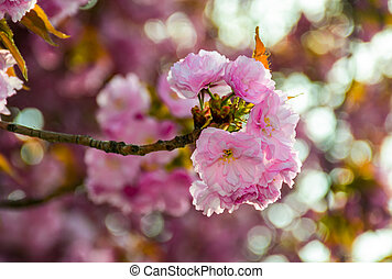 pink blossomed sakura flowers with blur - delicate pink...
