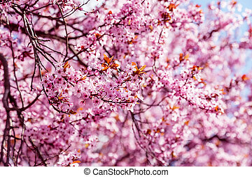 Pink blossoming magnolia tree, for