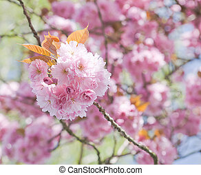 Pink blossoms in springtime