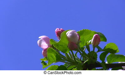 Pink blossoms isolated