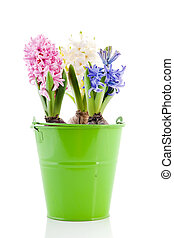 Pink blue and white Hyacinths in green bucket - Colorful ...