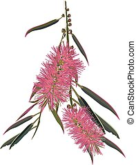 Pink Bottlebrush Vector - Pink Australian Bottlebrush Shrub...