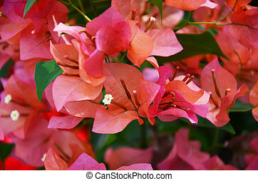 pink bougainvillea background blur