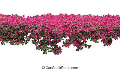 Pink Bougainvillea flower spreading shrub isolated on white background. Spring blossom flowers banner background.